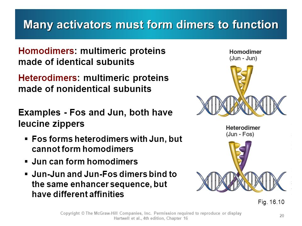 Many activators must form dimers to function