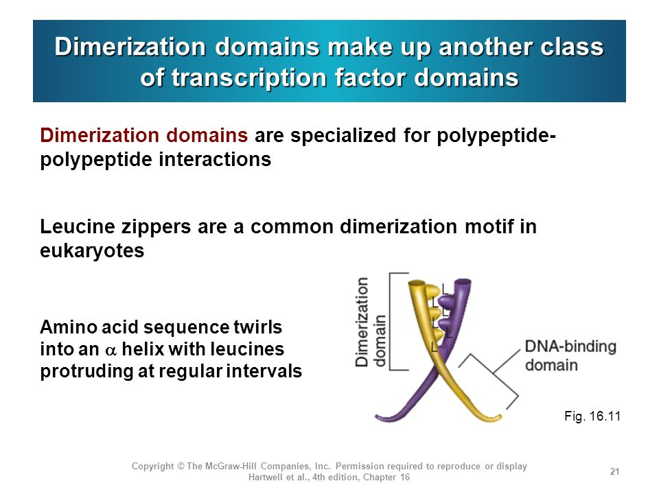 Dimerization domains make up another class of transcription factor domains