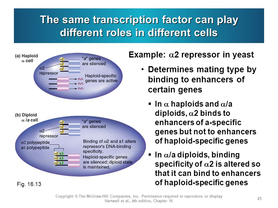 The same transcription factor can play different roles in different cells