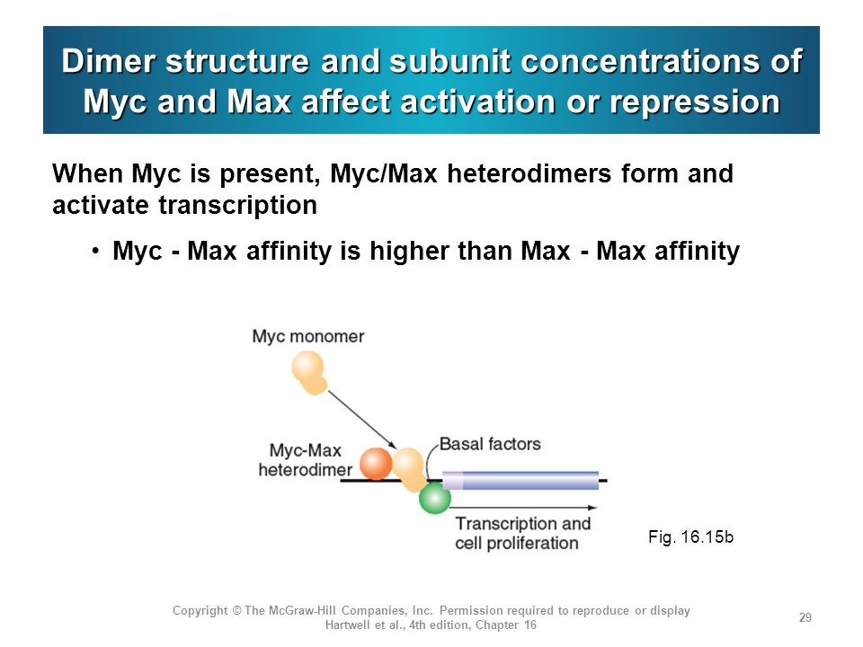 Dimer structure and subunit concentrations of Myc and Max affect activation or repression