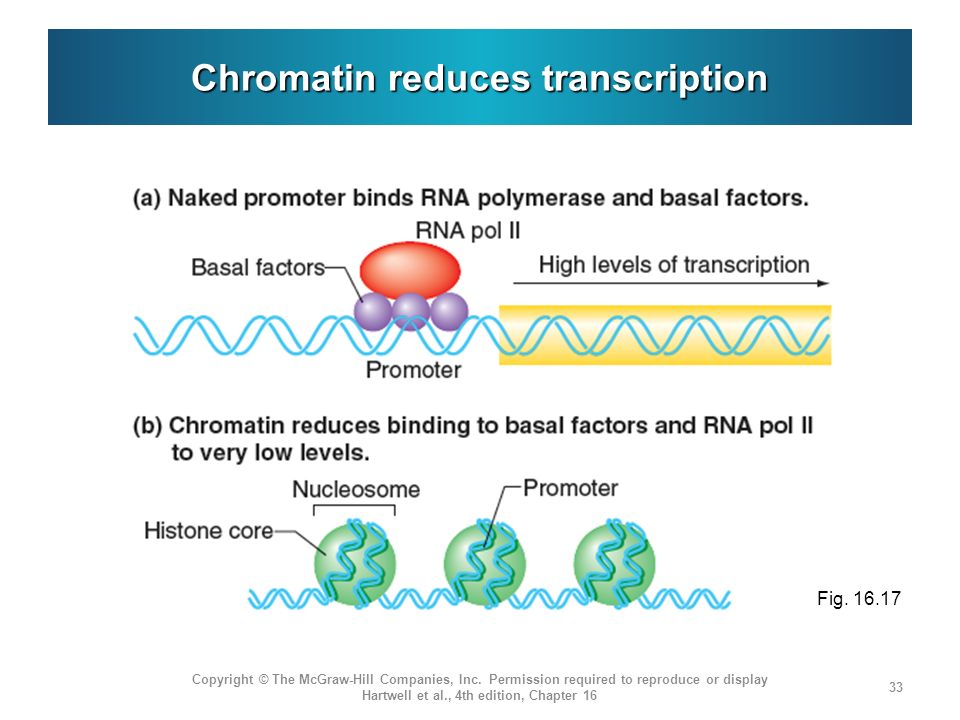 Chromatin reduces transcription