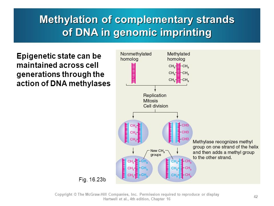 Methylation of complementary strands of DNA in genomic imprinting