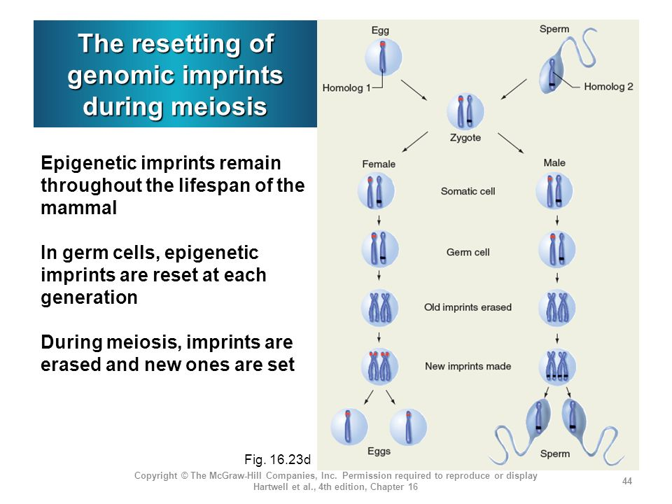 The resetting of genomic imprints during meiosis