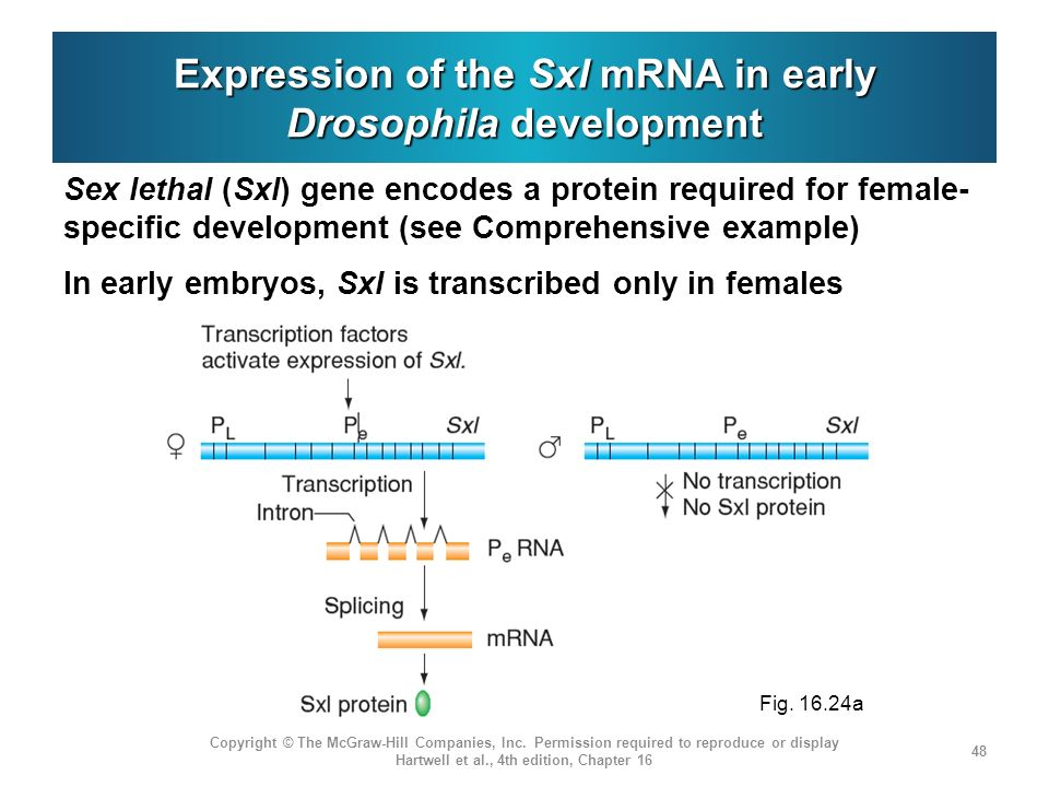 Expression of the Sxl mRNA in early Drosophila development