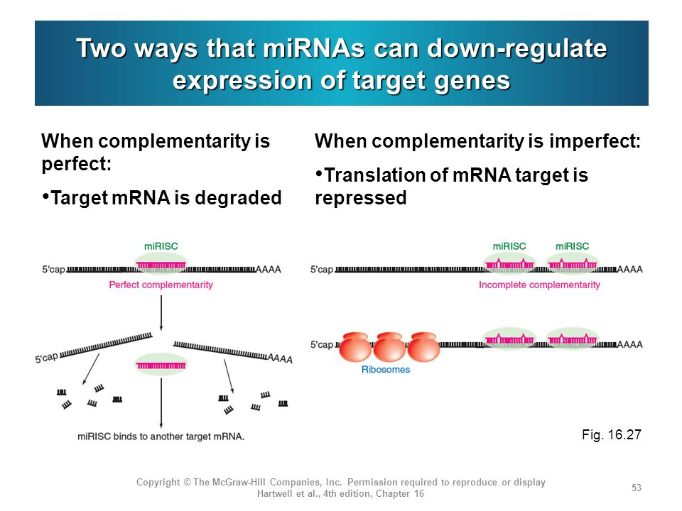 Two ways that miRNAs can down-regulate expression of target genes