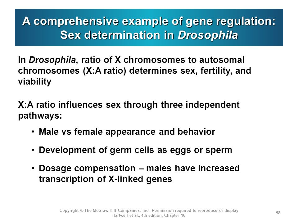 A comprehensive example of gene regulation: Sex determination in Drosophila
