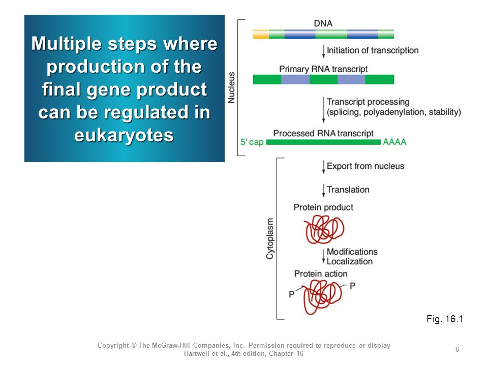 Multiple steps where production of the final gene product can be regulated in eukaryotes