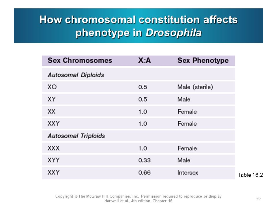 How chromosomal constitution affects phenotype in Drosophila