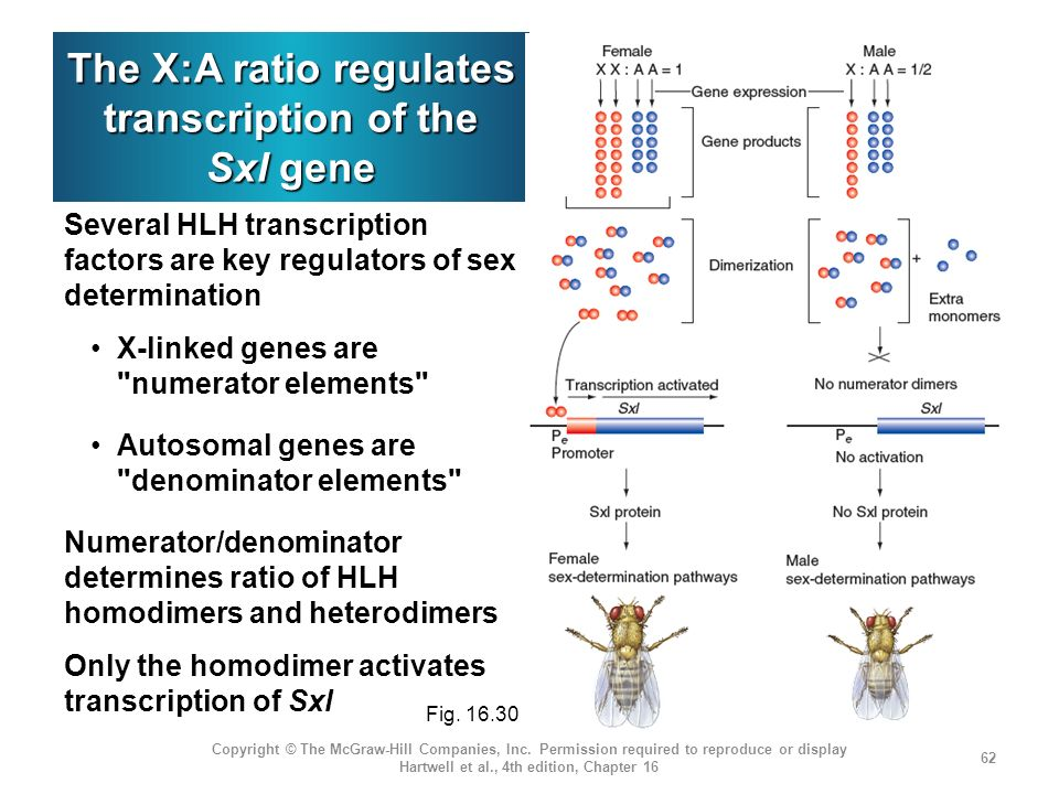 The X:A ratio regulates transcription of the Sxl gene