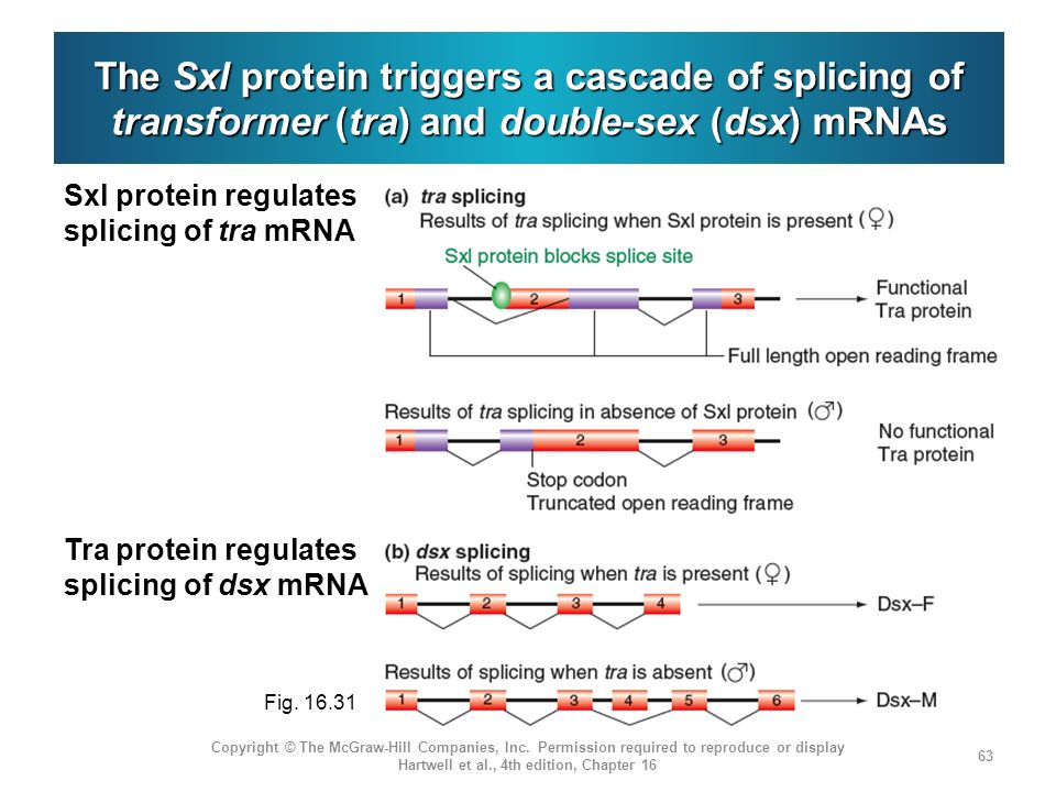 The Sxl protein triggers a cascade of splicing of transformer (tra) and double-sex (dsx) mRNAs