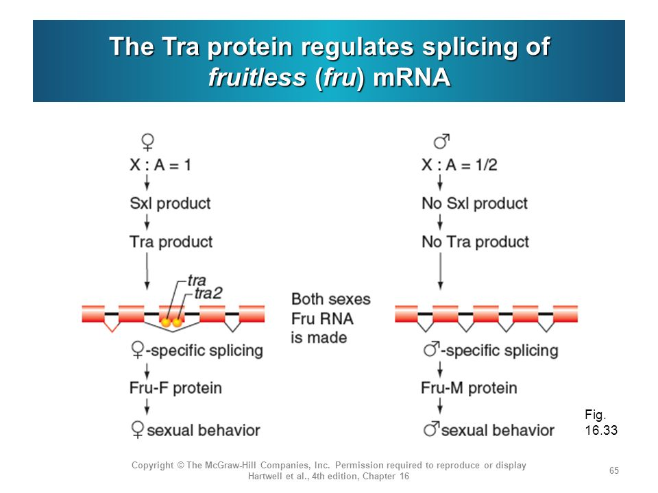 The Tra protein regulates splicing of fruitless (fru) mRNA