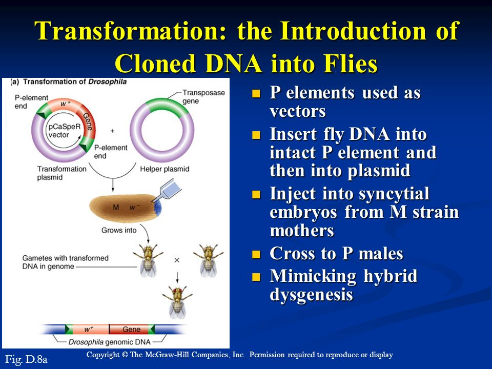 Transformation: the Introduction of Cloned DNA into Flies