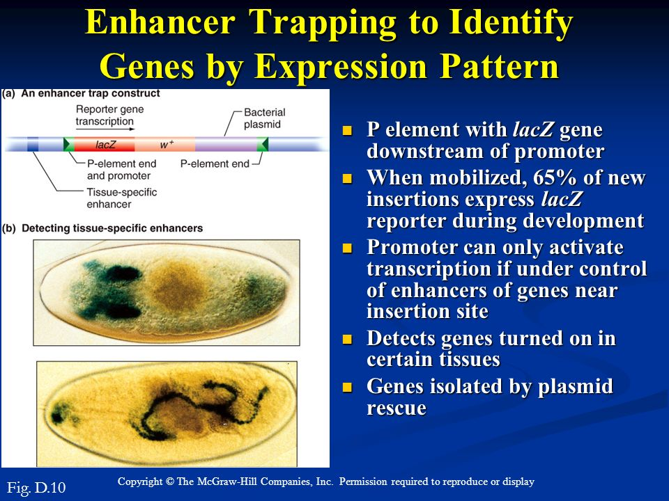 Enhancer Trapping to Identify Genes by Expression Pattern