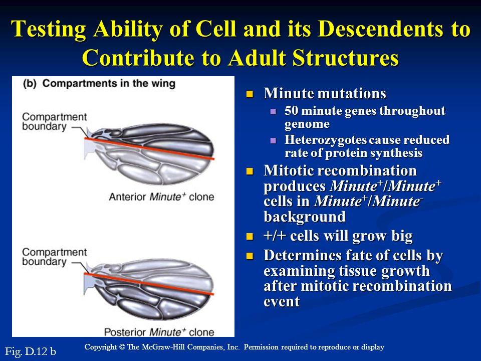 Testing Ability of Cell and its Descendents to Contribute to Adult Structures