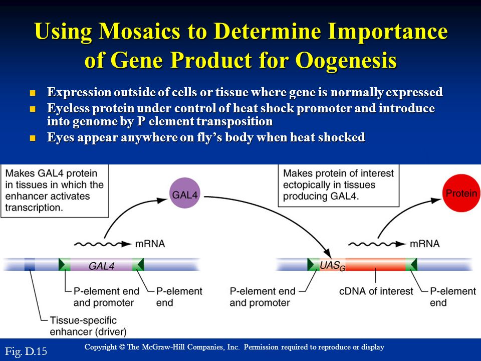 Using Mosaics to Determine Importance of Gene Product for Oogenesis
