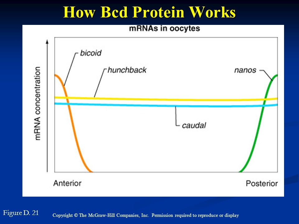 How Bcd Protein Works Figure D. 21 Figure D. 21 top