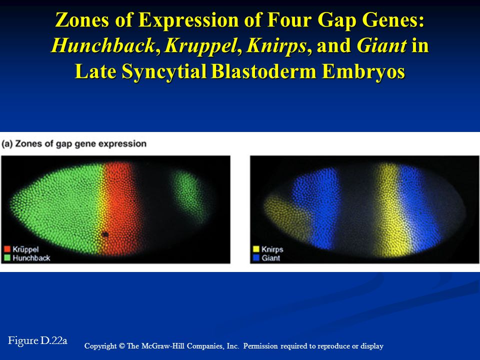 Zones of Expression of Four Gap Genes: Hunchback, Kruppel, Knirps, and Giant in Late Syncytial Blastoderm Embryos