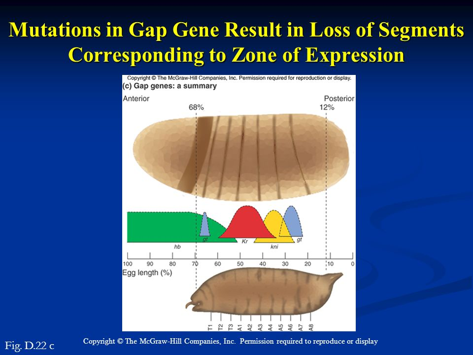 Mutations in Gap Gene Result in Loss of Segments Corresponding to Zone of Expression