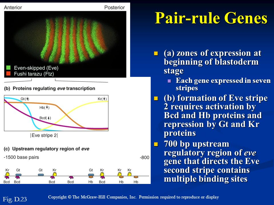 Pair-rule Genes (a) zones of expression at beginning of blastoderm stage. Each gene expressed in seven stripes.