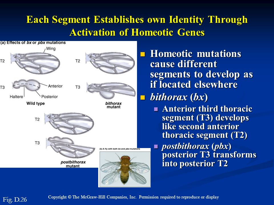 Each Segment Establishes own Identity Through Activation of Homeotic Genes