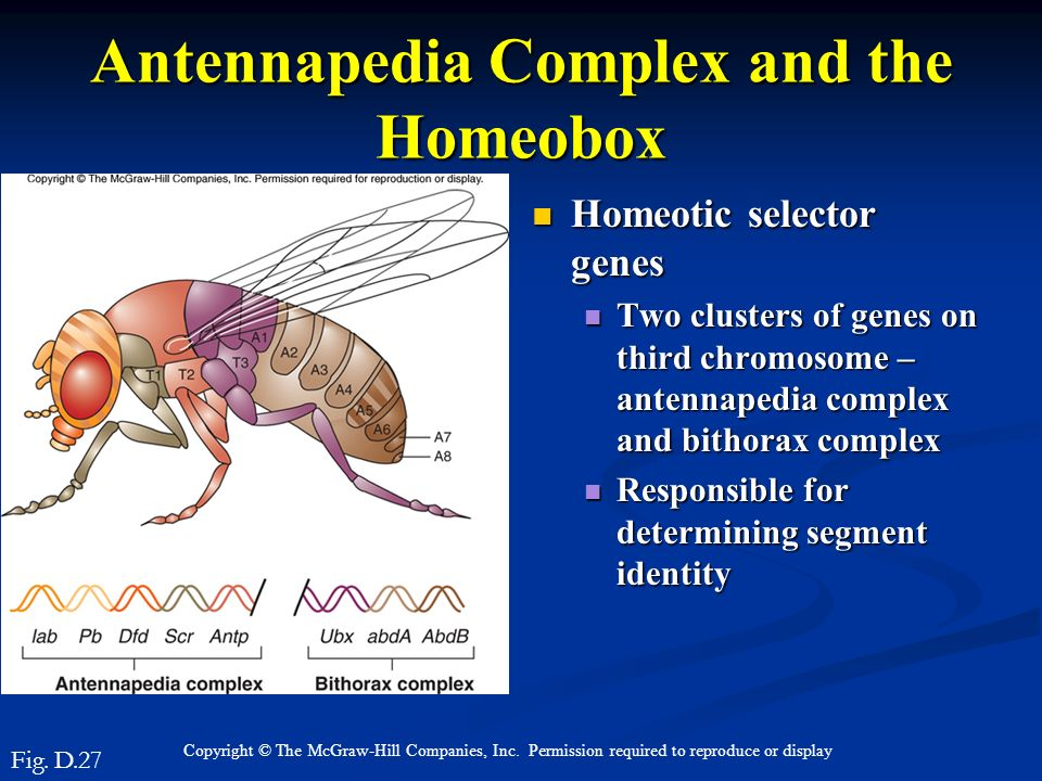 Antennapedia Complex and the Homeobox