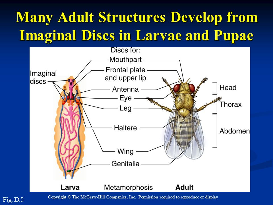 Many Adult Structures Develop from Imaginal Discs in Larvae and Pupae