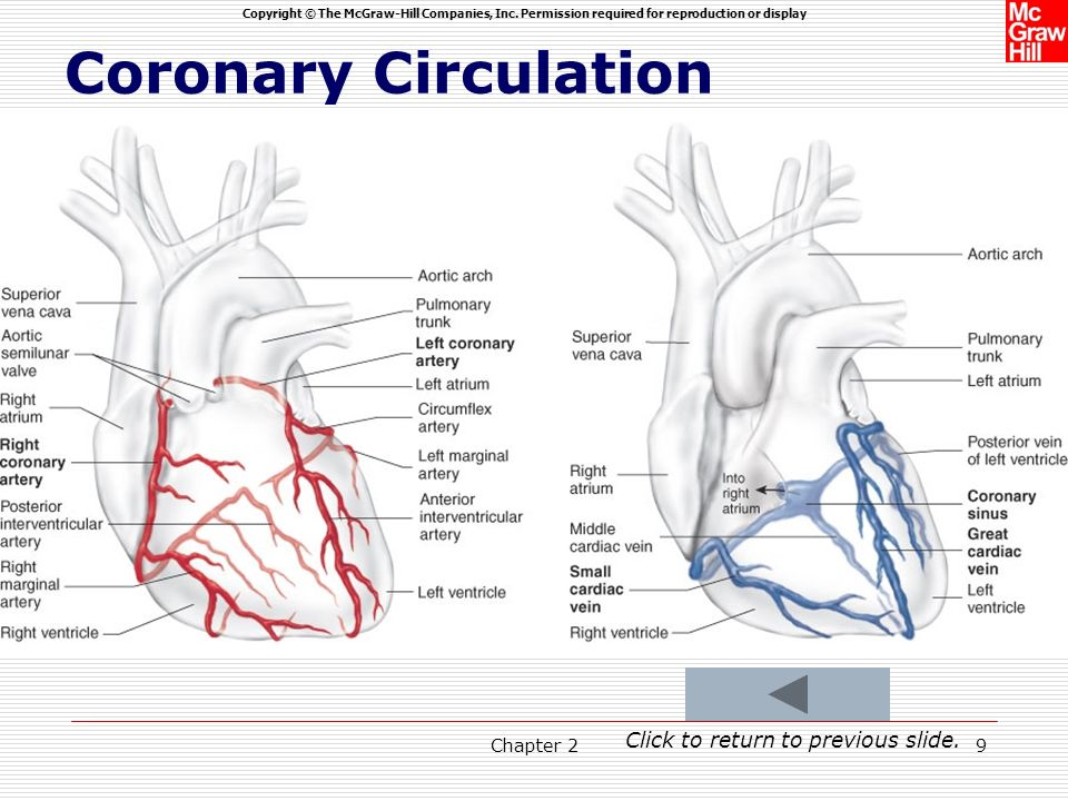 Coronary Circulation Click to return to previous slide. Chapter 2