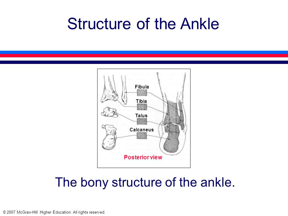 The bony structure of the ankle.