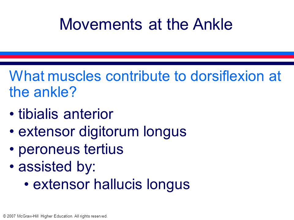 Movements at the Ankle What muscles contribute to dorsiflexion at the ankle tibialis anterior. extensor digitorum longus.