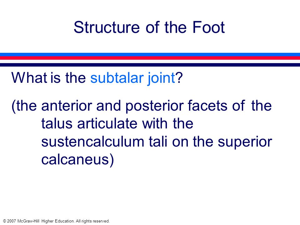 Structure of the Foot What is the subtalar joint