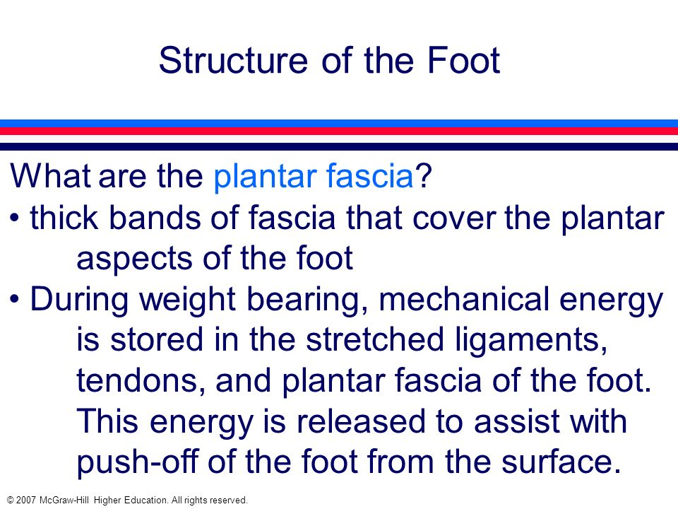Structure of the Foot What are the plantar fascia