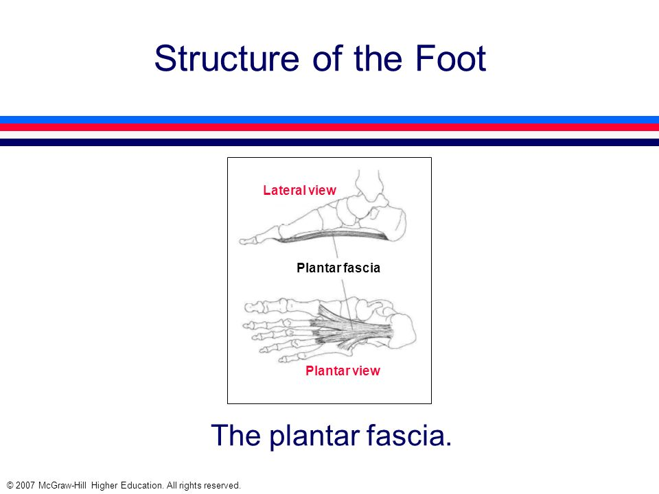 Structure of the Foot The plantar fascia. Lateral view Plantar fascia