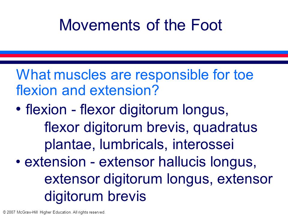 Movements of the Foot What muscles are responsible for toe flexion and extension