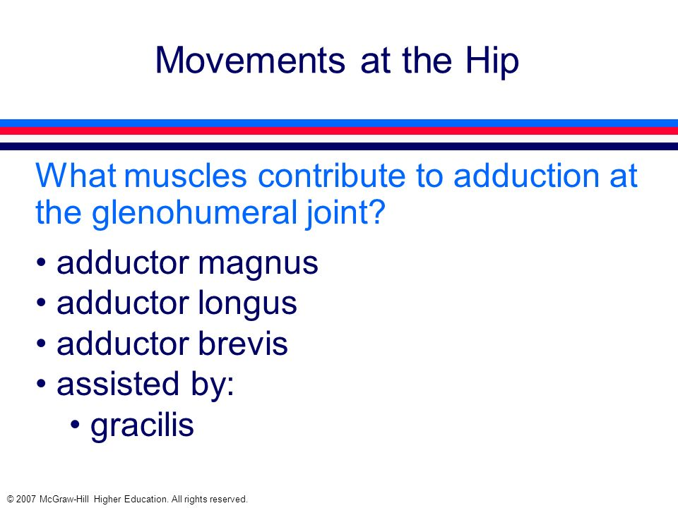 Movements at the Hip What muscles contribute to adduction at the glenohumeral joint adductor magnus.