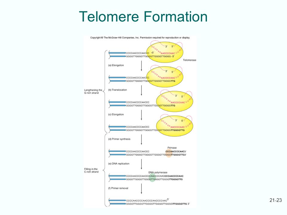 Telomere Formation