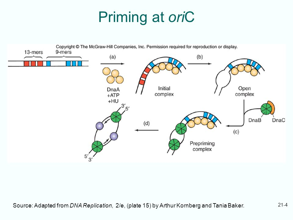 Priming at oriC Source: Adapted from DNA Replication, 2/e, (plate 15) by Arthur Kornberg and Tania Baker.