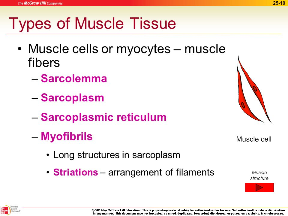 Types of Muscle Tissue Muscle cells or myocytes – muscle fibers