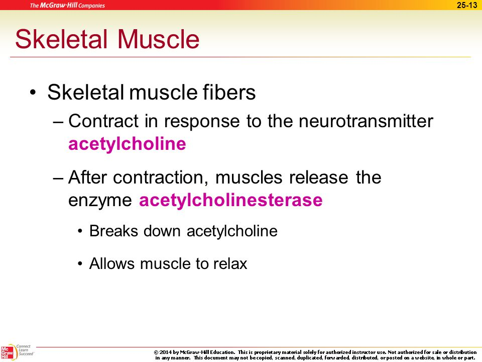 Skeletal Muscle Skeletal muscle fibers