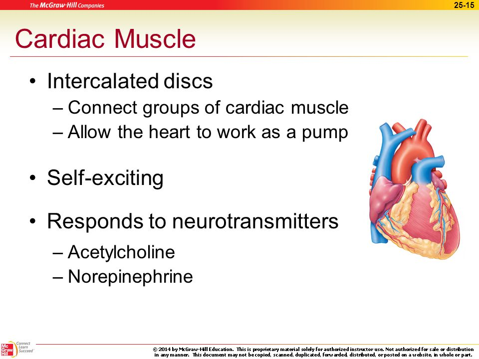 Cardiac Muscle Intercalated discs Self-exciting