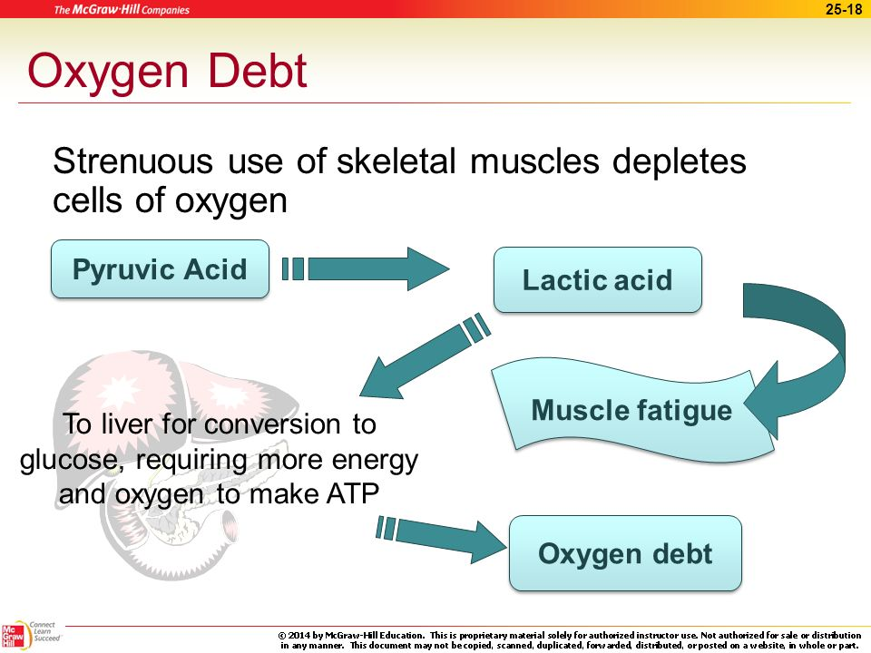 Oxygen Debt Strenuous use of skeletal muscles depletes cells of oxygen