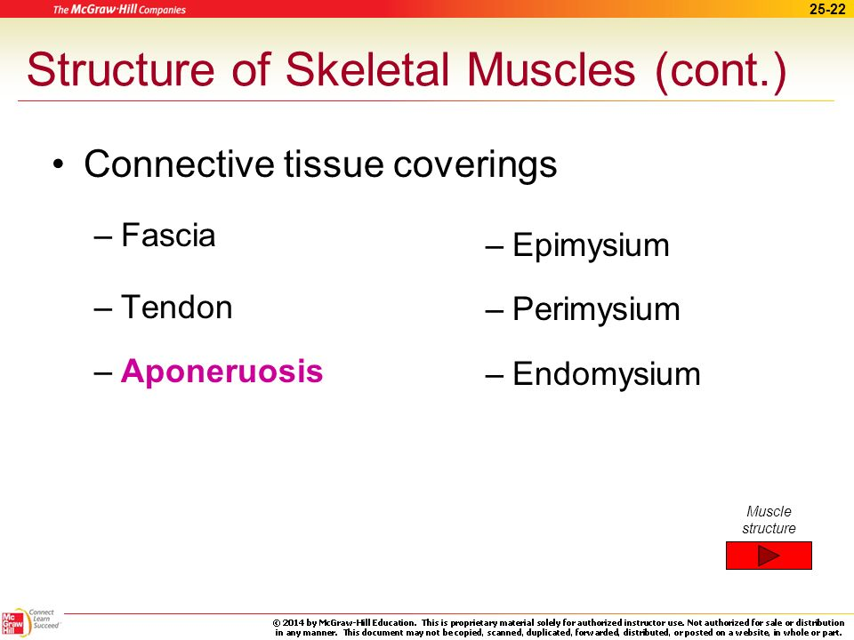 Structure of Skeletal Muscles (cont.)