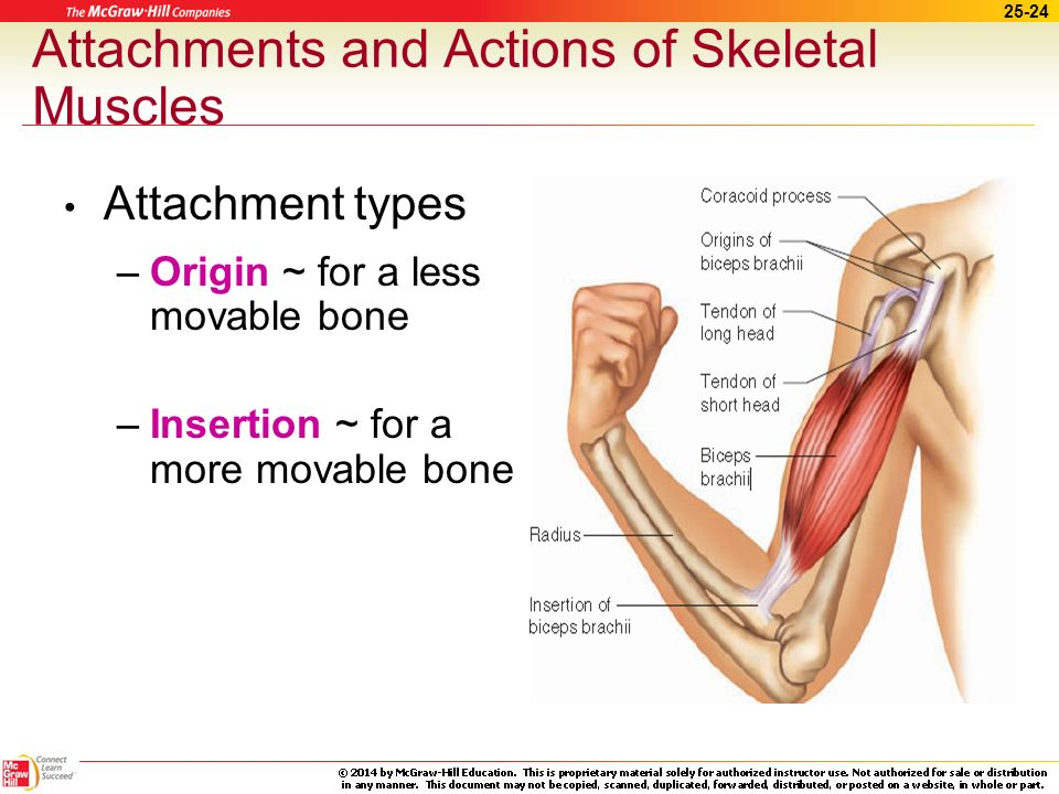 Attachments and Actions of Skeletal Muscles