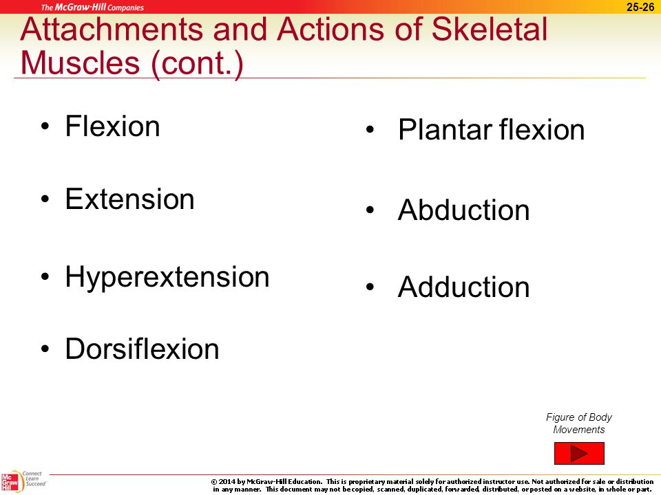 Attachments and Actions of Skeletal Muscles (cont.)
