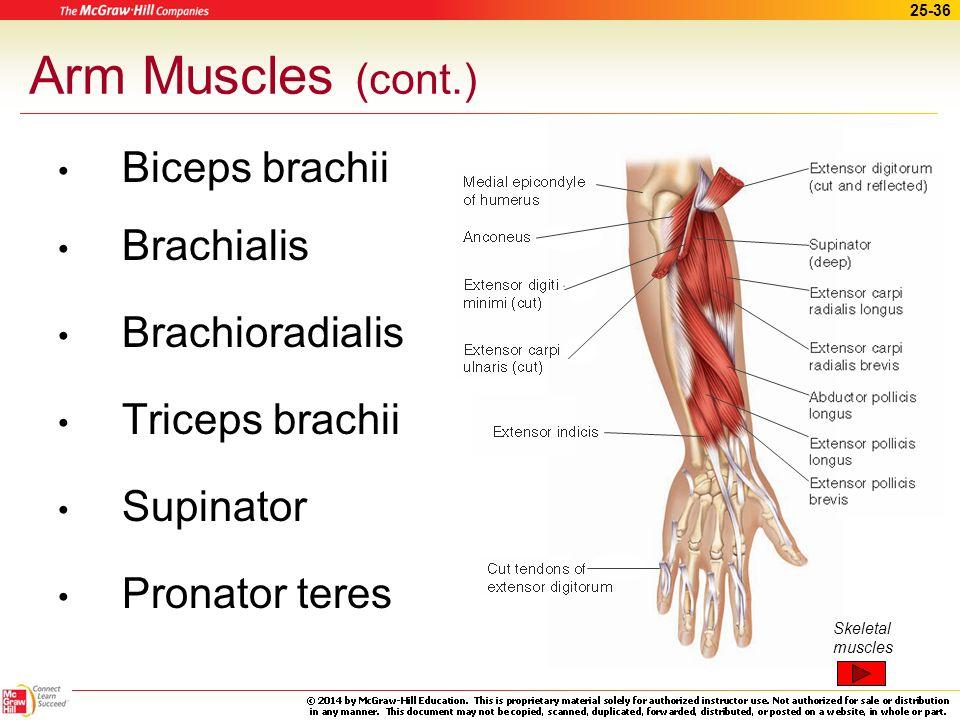 Arm Muscles (cont.) Biceps brachii Brachialis Brachioradialis