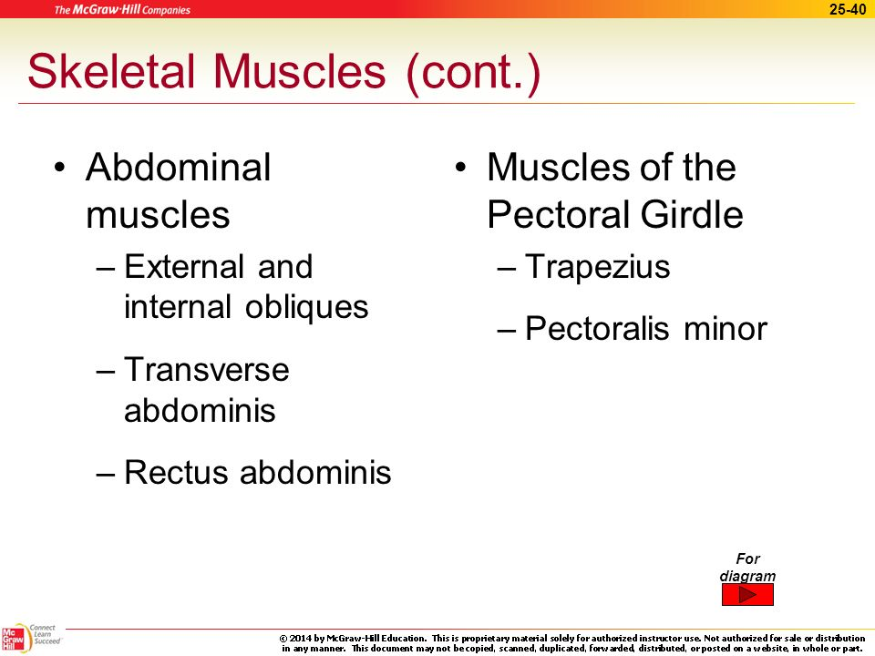 Skeletal Muscles (cont.)