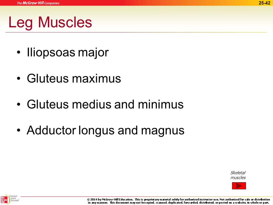 Leg Muscles Iliopsoas major Gluteus maximus Gluteus medius and minimus