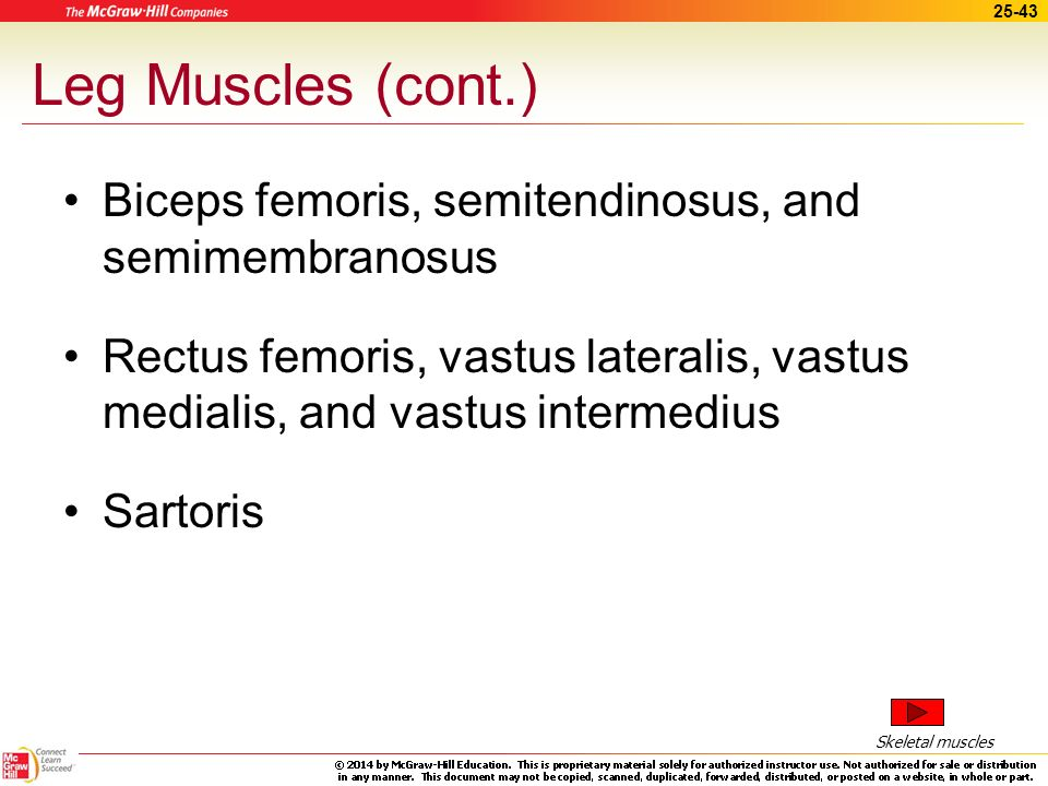 Leg Muscles (cont.) Biceps femoris, semitendinosus, and semimembranosus. Rectus femoris, vastus lateralis, vastus medialis, and vastus intermedius.