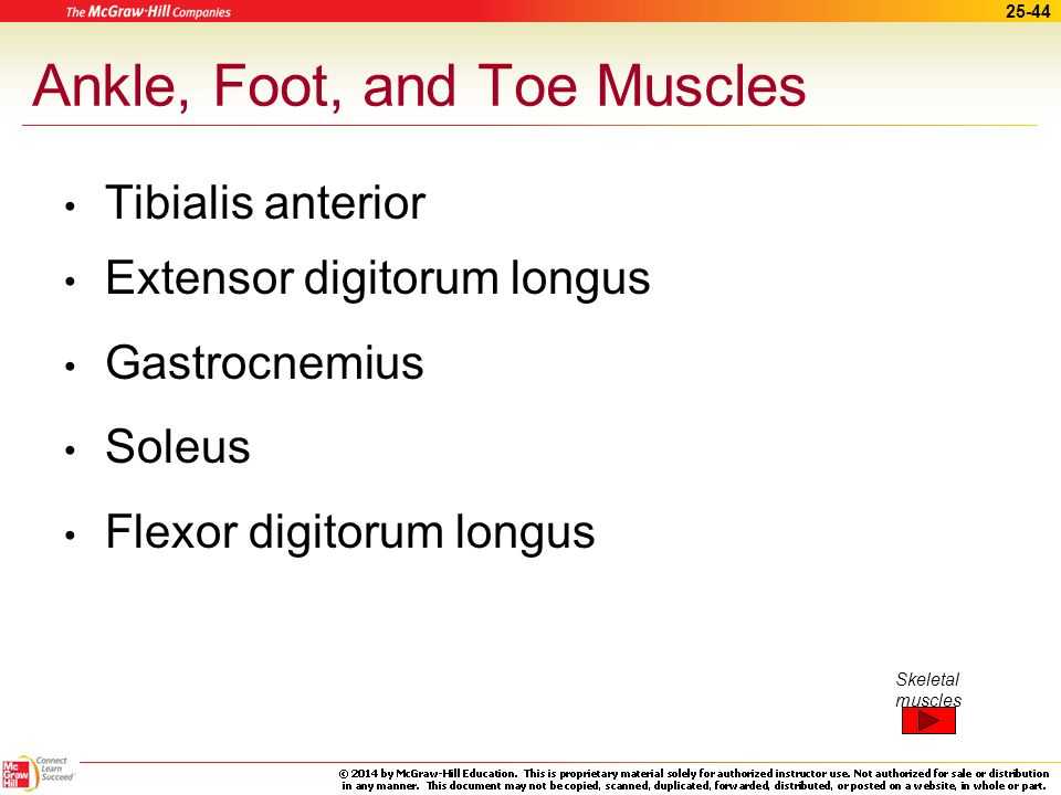 Ankle, Foot, and Toe Muscles