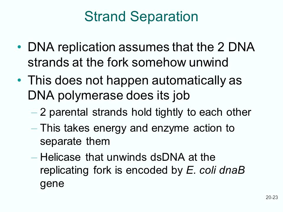 Strand Separation DNA replication assumes that the 2 DNA strands at the fork somehow unwind.