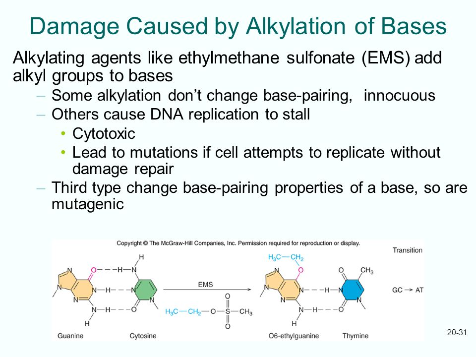 Damage Caused by Alkylation of Bases